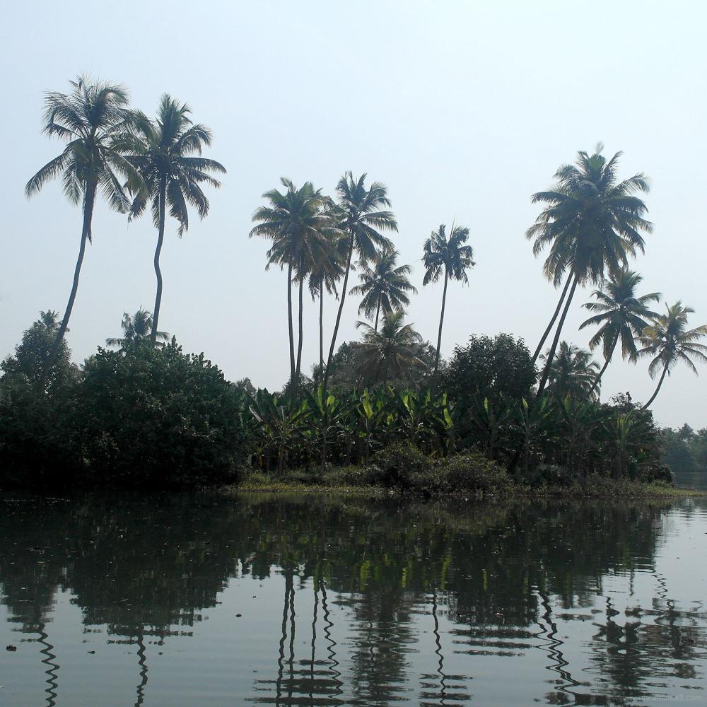 kerala backwater palm trees coconuts tropical bush