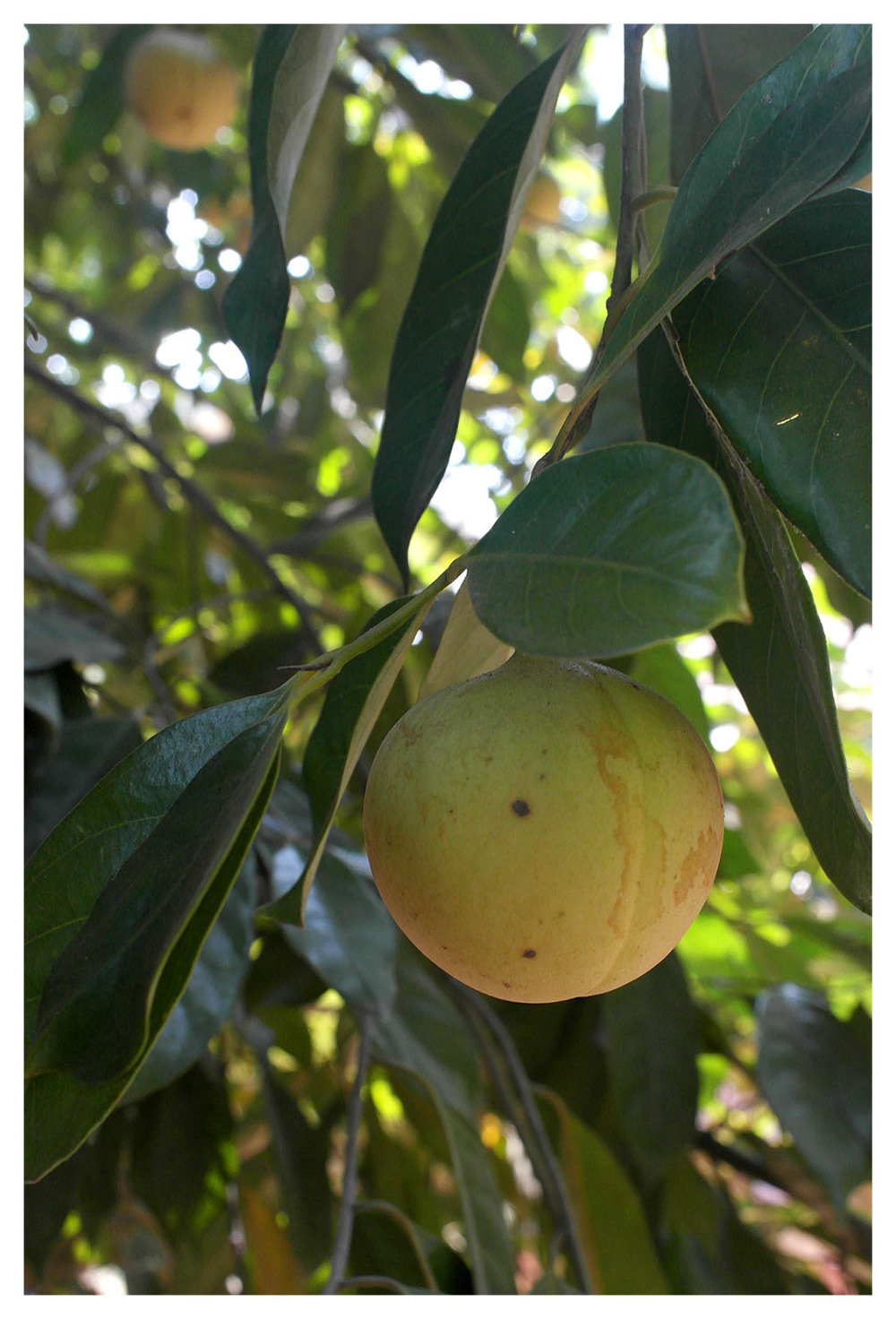 Nutmeg Fruit Kerala India