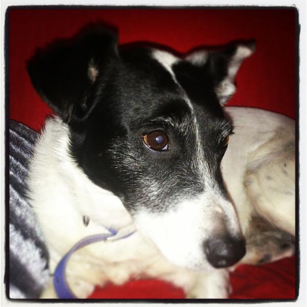sprocket my dog jack russel