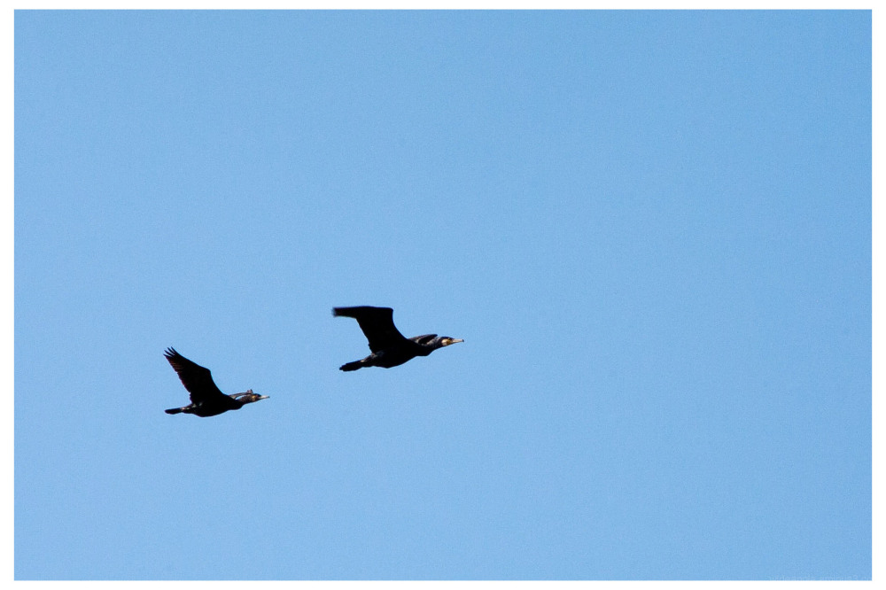 two cormorants attenborough nature reserve