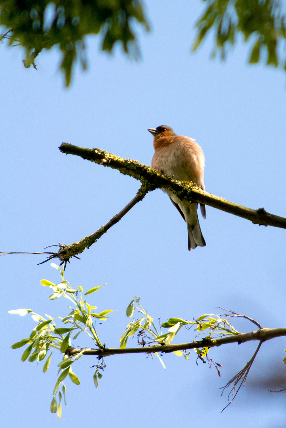 chaffinch singing tree birds sunny day belper
