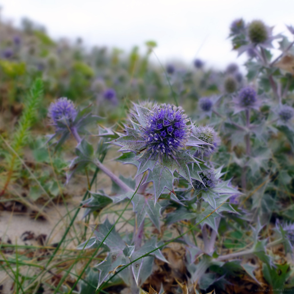 Spiky Thistles