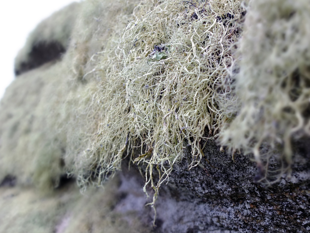 Long Strands Lichen