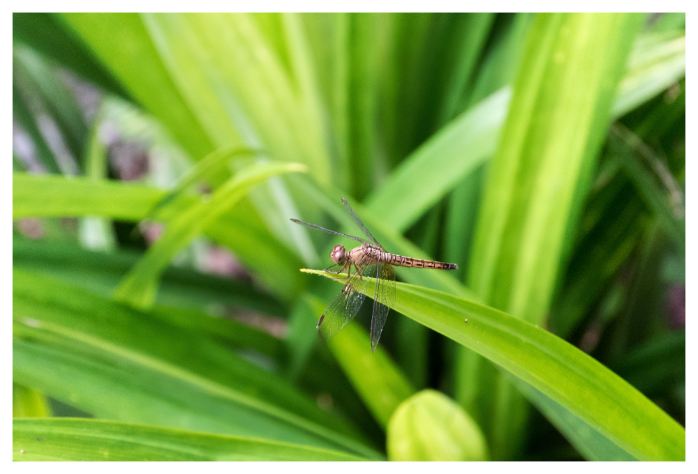 Dragonfly Koh Lanta Thailand