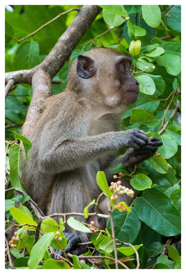 Macaque koh lanta south thailand