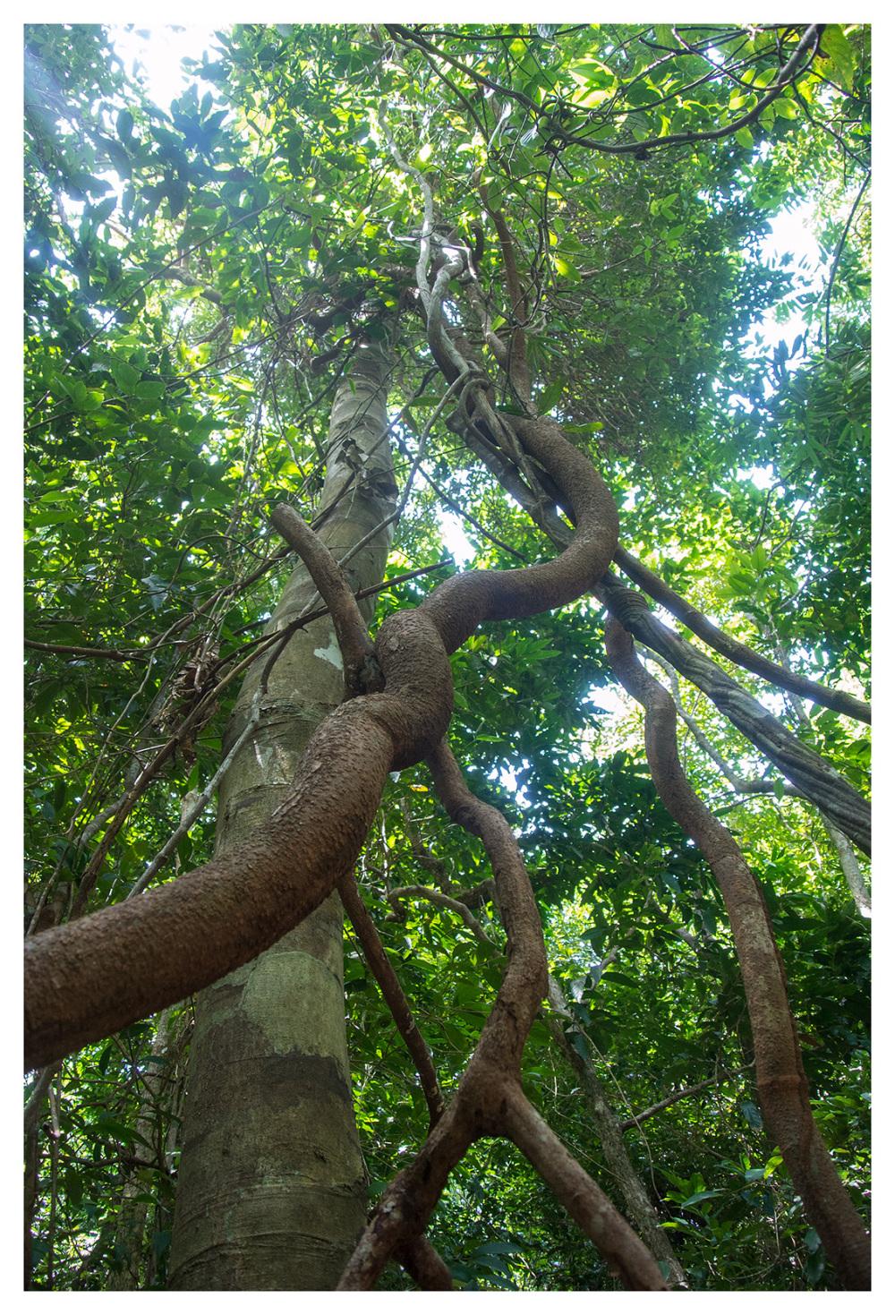 jungle vines liana thailand koh lanta