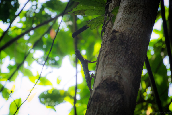jungle tree lizard koh lanta