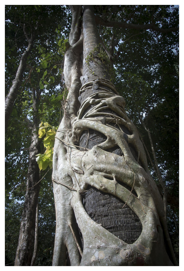 strangler fig tropical vegetation thailand