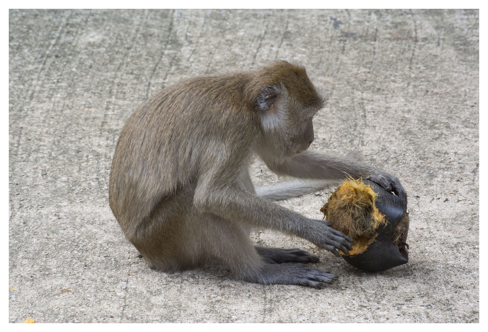 monkey macaque coconut husk food animal