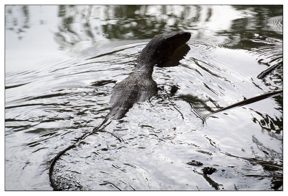 water monitor large lizard koh lanta