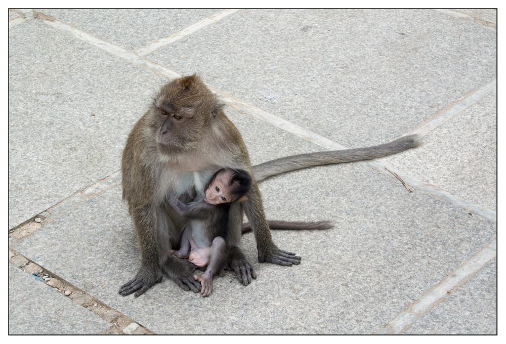 baby macaque temple thailand krabi