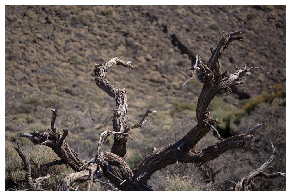dry twig plant tenerife high altitude