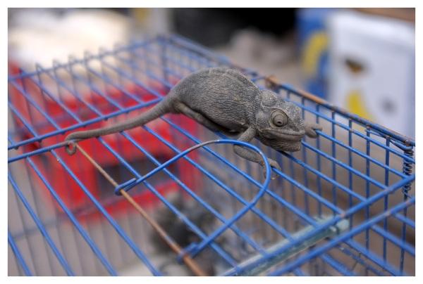 captured chameleon sousse tunisia