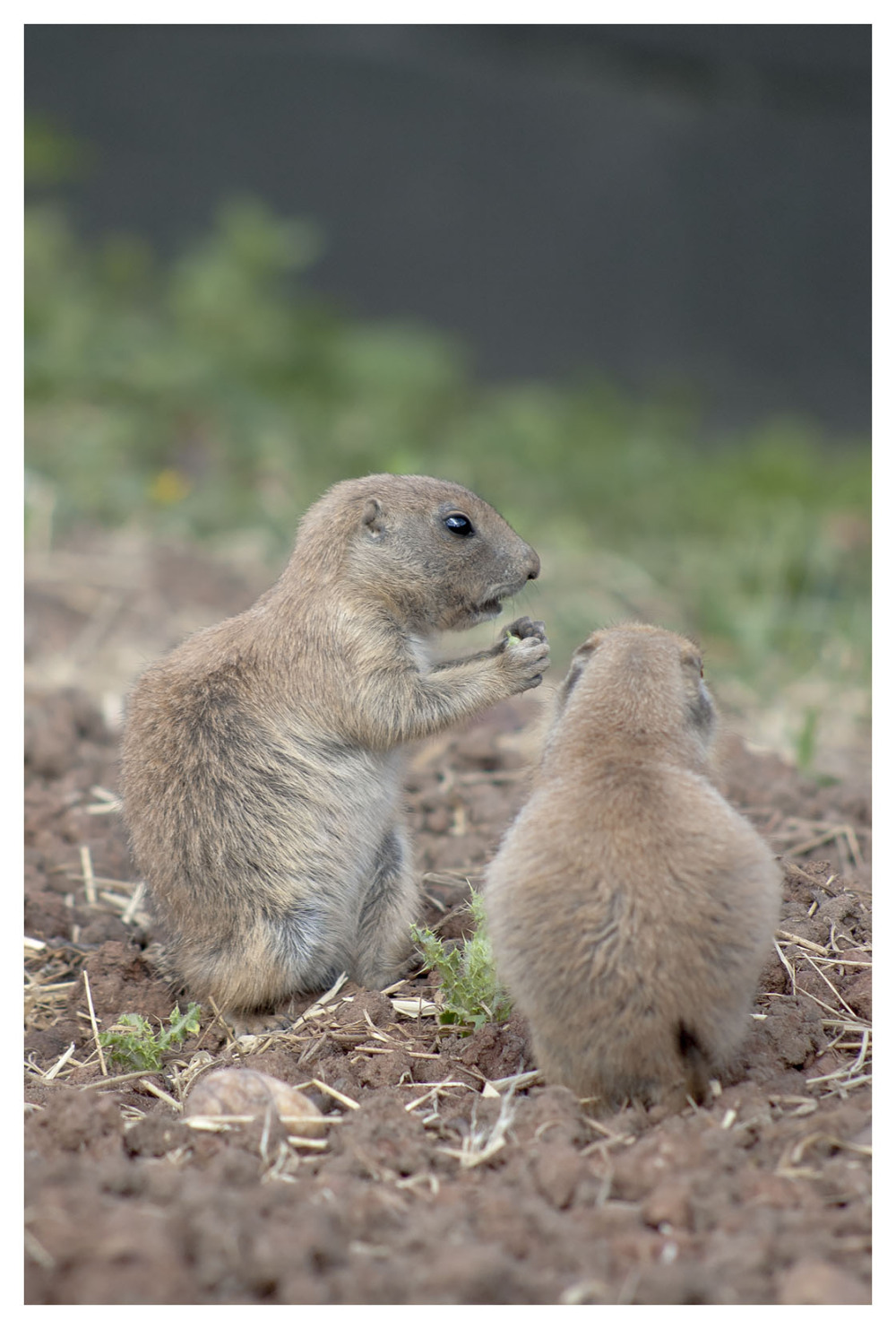 ground squirrel zoo funny animals
