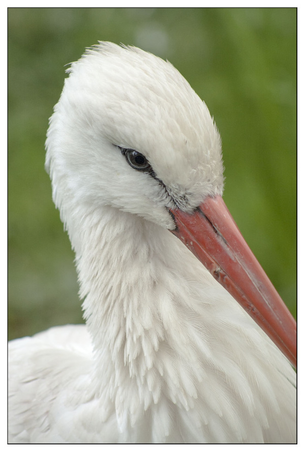 White Stork Close Up