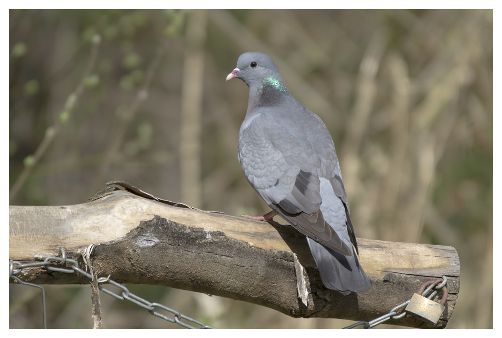 wood pigeon beeston attenbourough birds
