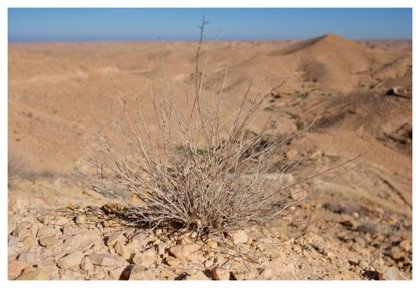 spiky arid desert plant dry leafless