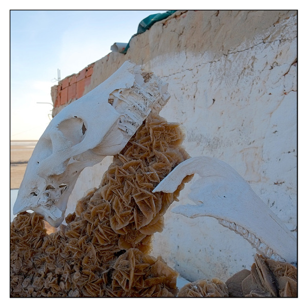 Camel Skull & Desert Rose