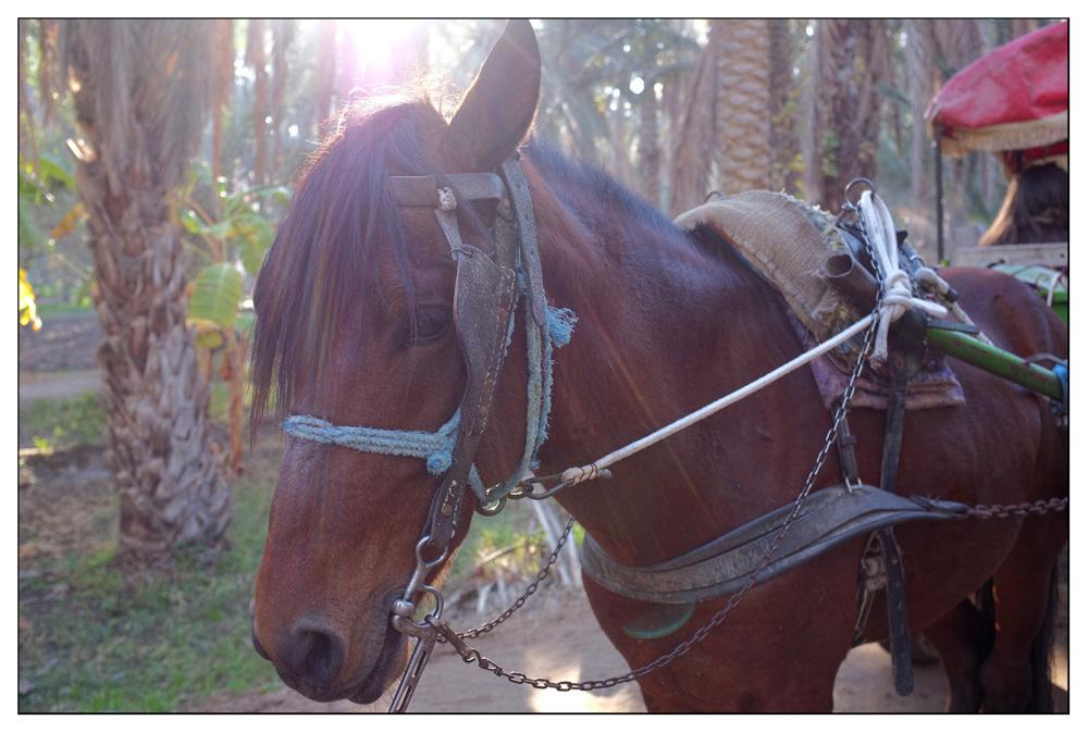 oasis horse sunlight tunisia
