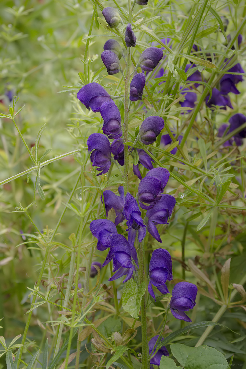 monkshood purple poisonous plants
