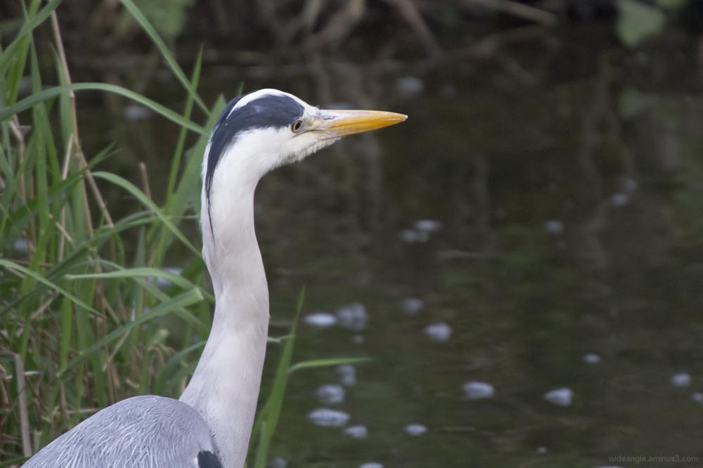 heron hunting attenborough