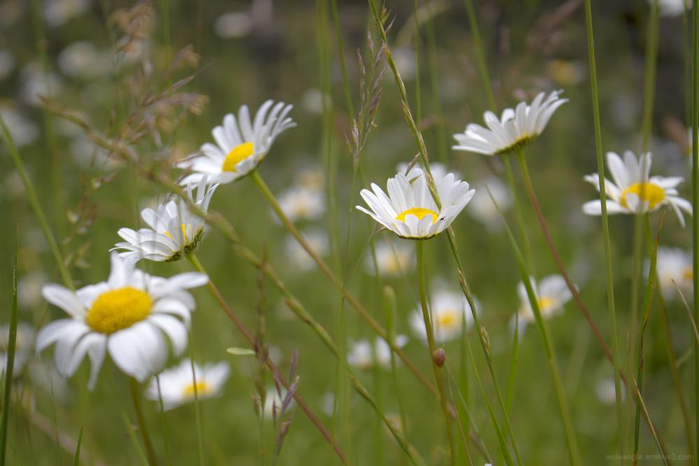 ox-eye daisy wildflowers derbyshire