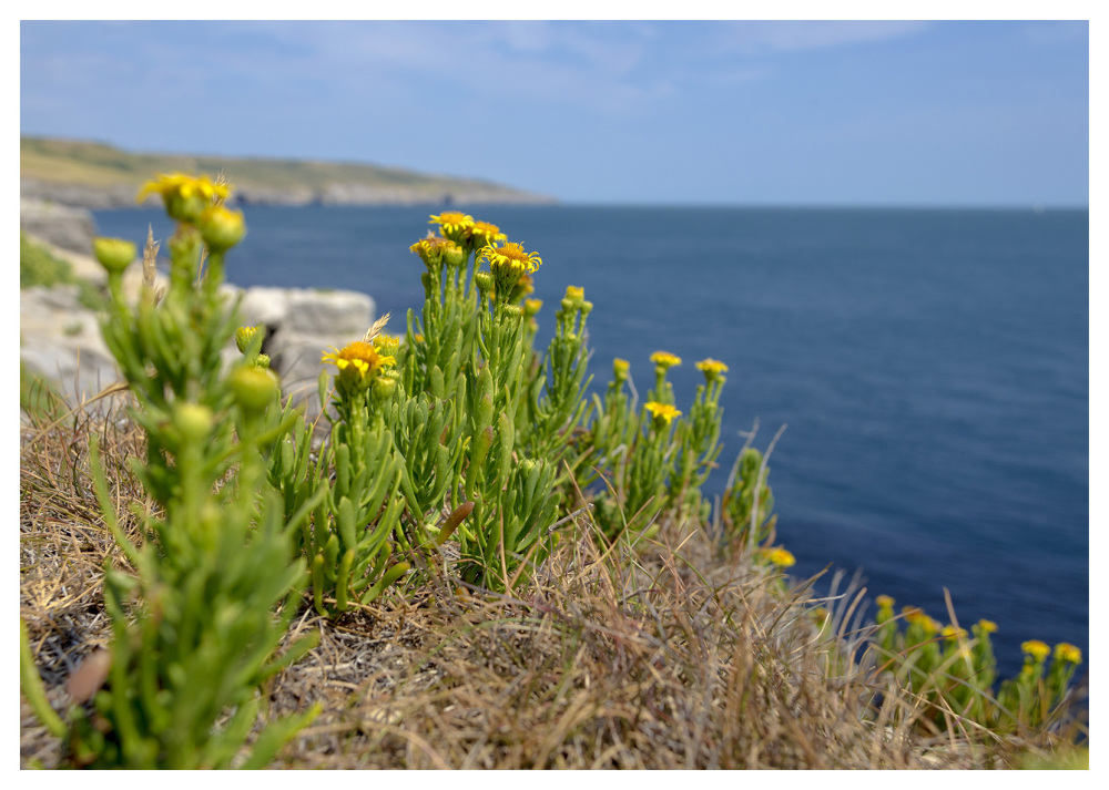 cliffs flowers sunshine purbeck hills dorset