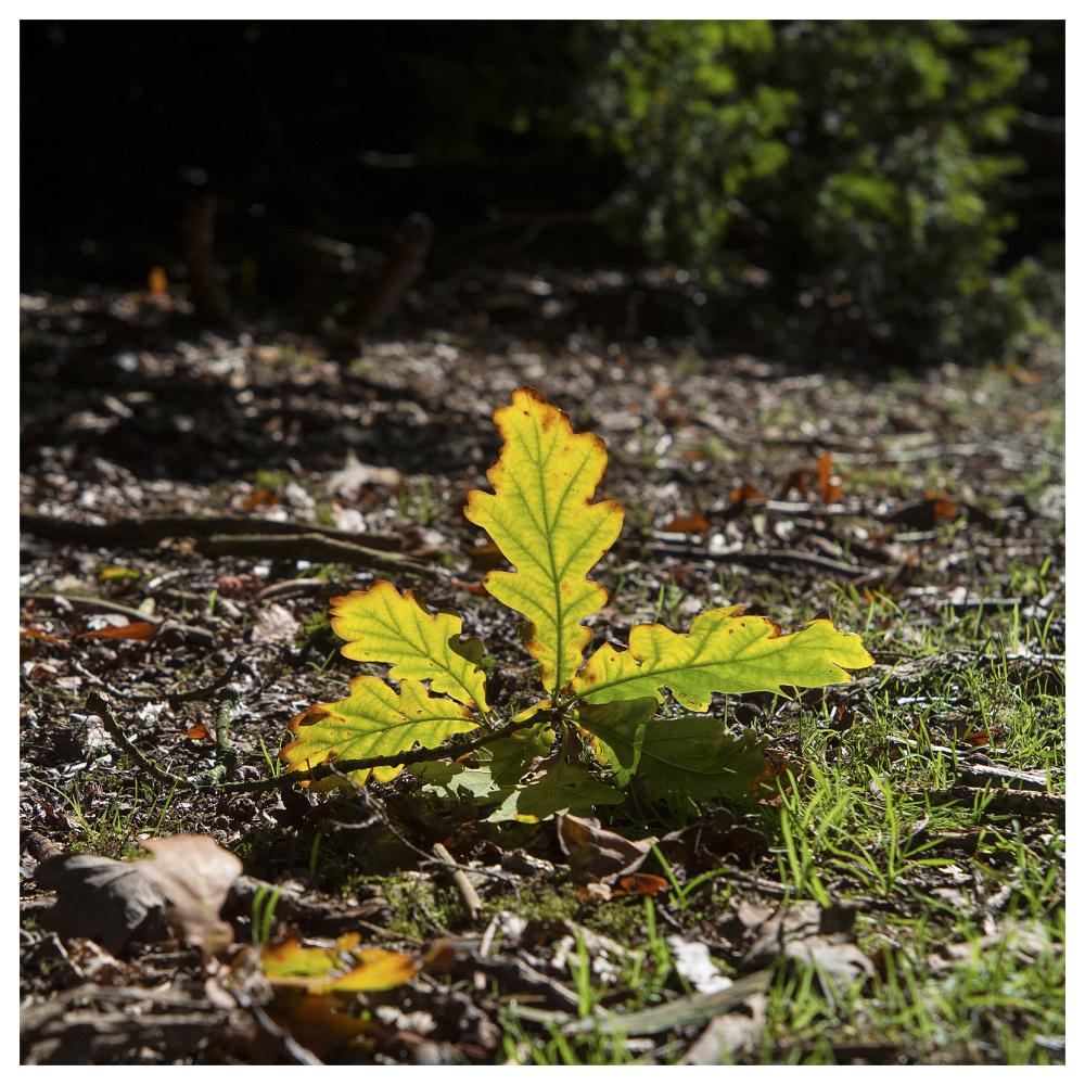 oak leaf fallen sunlight green