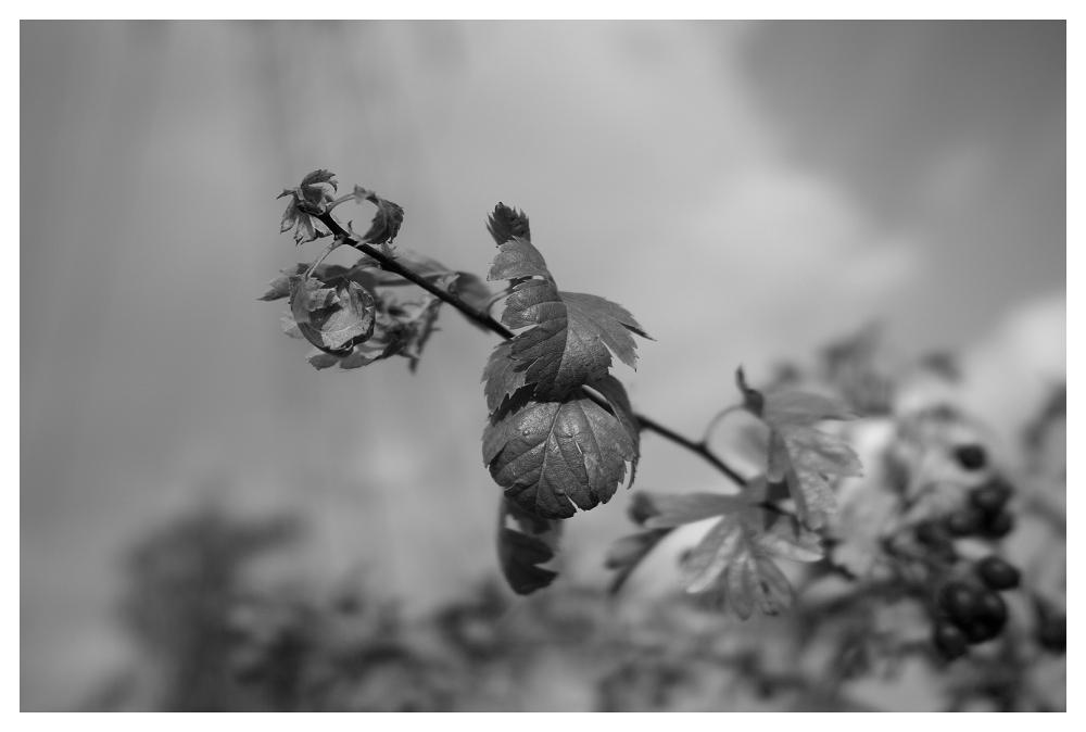 blackberry leaves beeston sigma dpm2 merrill