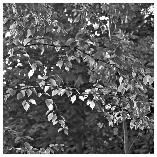 silver birch early autumn