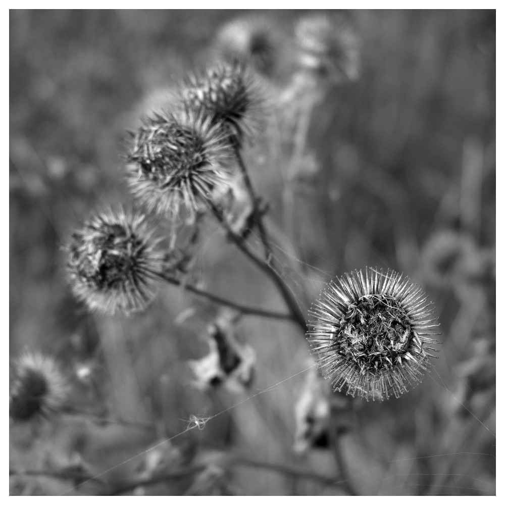 burdock spikes sticky end repents summer