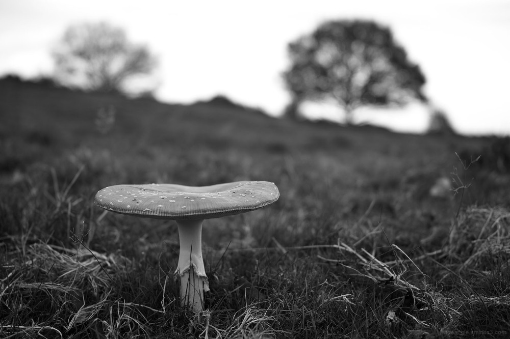 fungi mushroom toadstool fairy ring fly agaric