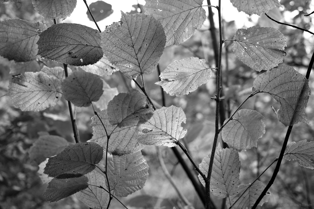 leaf silvery bright autumnal sunlight