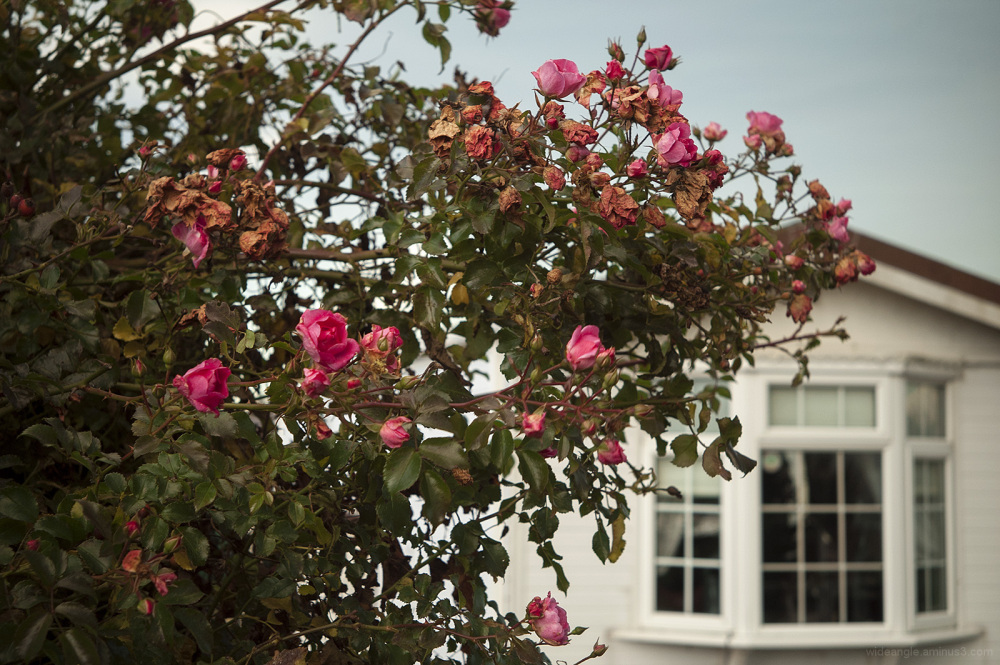 rose winter marina withering pink