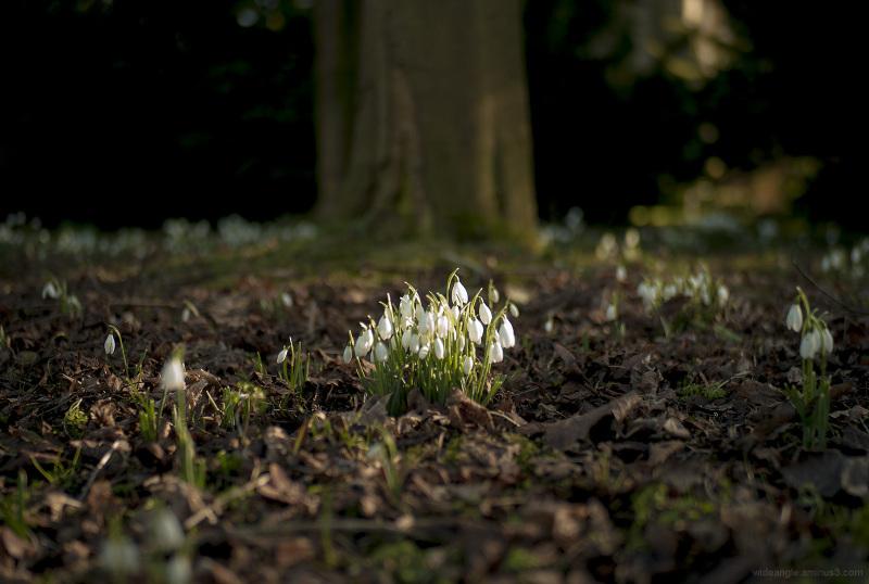 snowdrops flowers spring newstead abbey nottingham