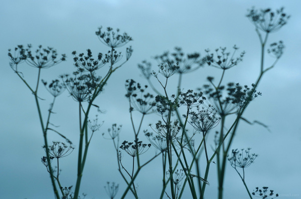 Dried Umbellifers