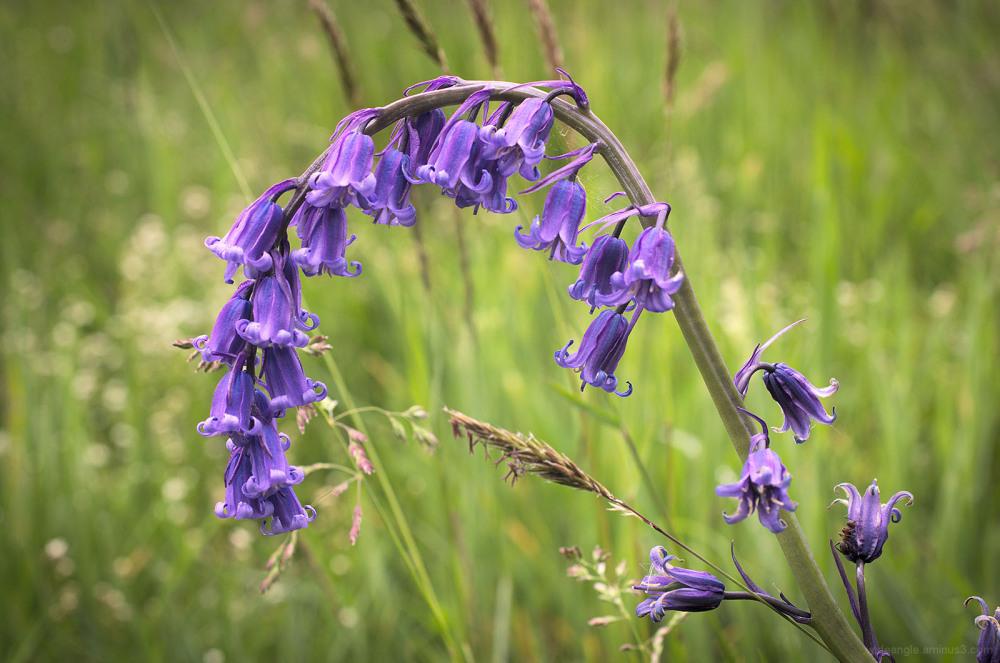 bluebells derbyshire cromford fields woods