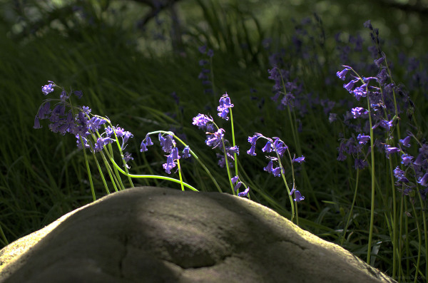 Bluebells & Rock