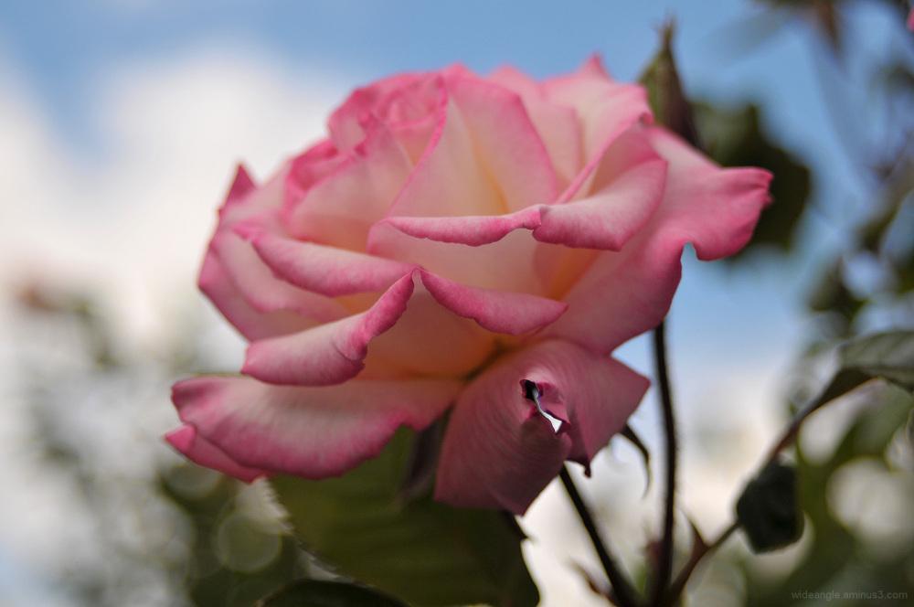 rose pink garden beeston