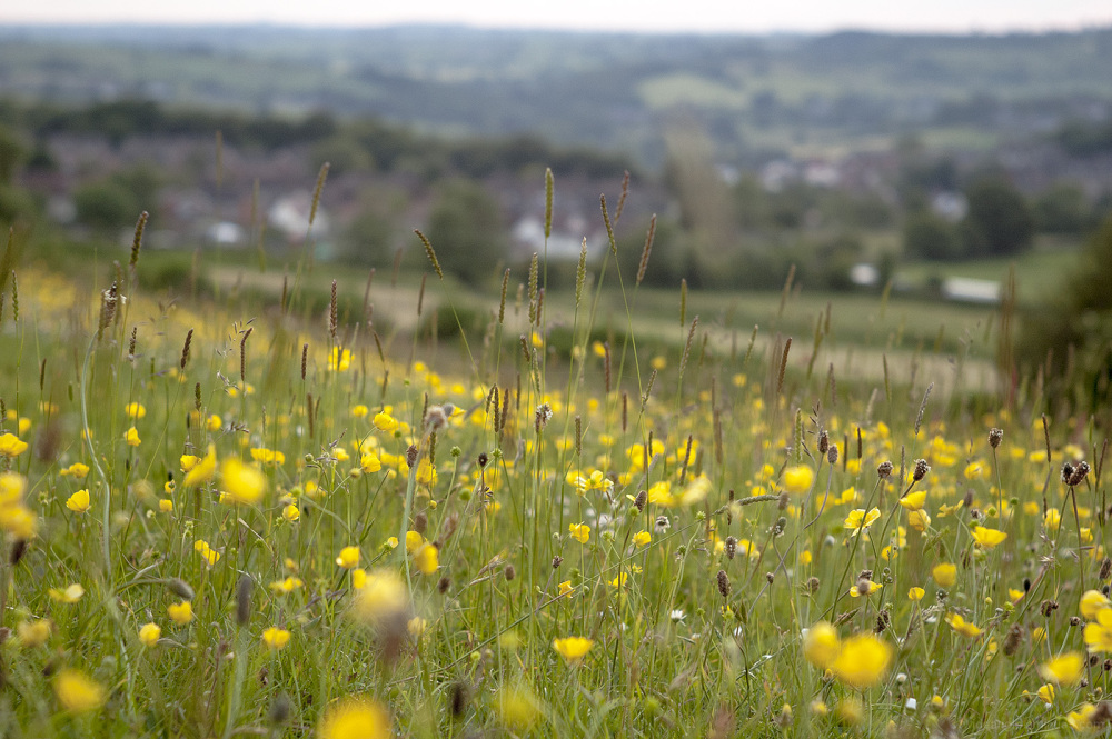 buttercups fields evening belper