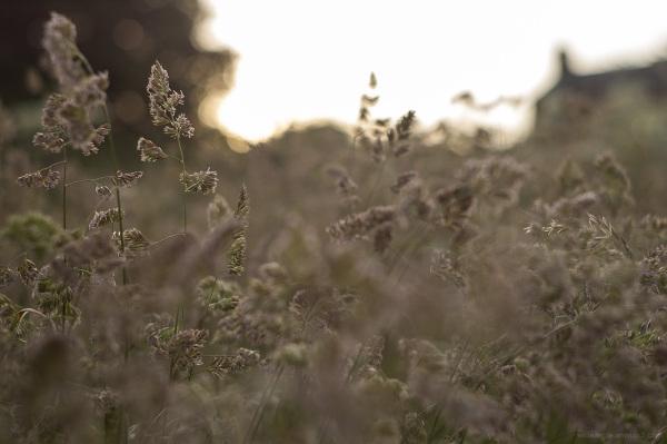 wild grasses belper