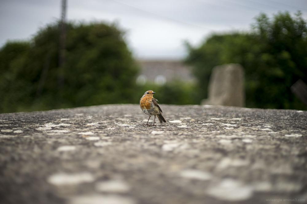 robin redbreast bold national bird