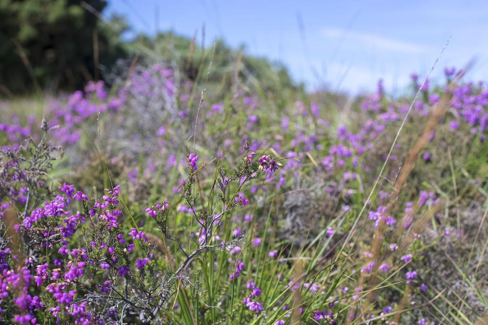 heather heathland dorset england godlington heath