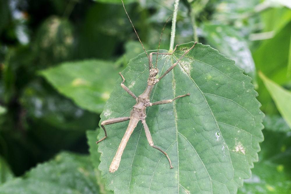stick insect tropical spiky macro