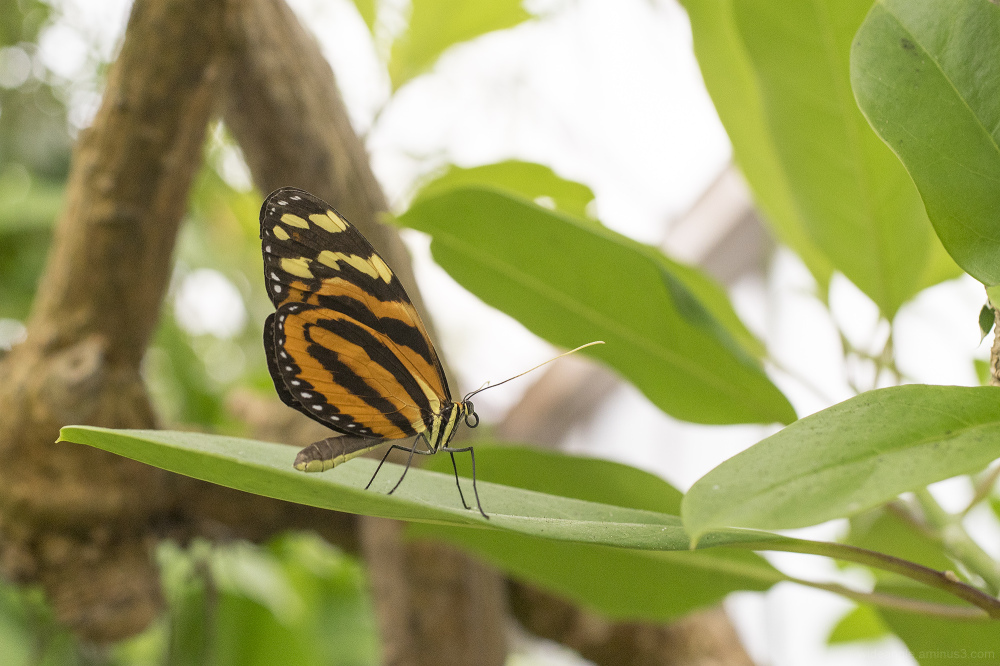 butterfly tropical tiger stripe macro