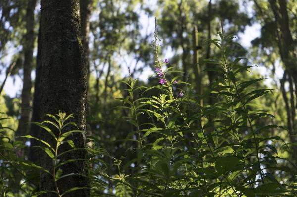 Woodland in Summer