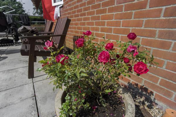 pots roses flowers culture