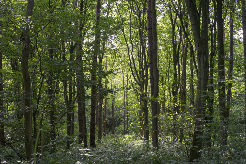 many tree woodlands green