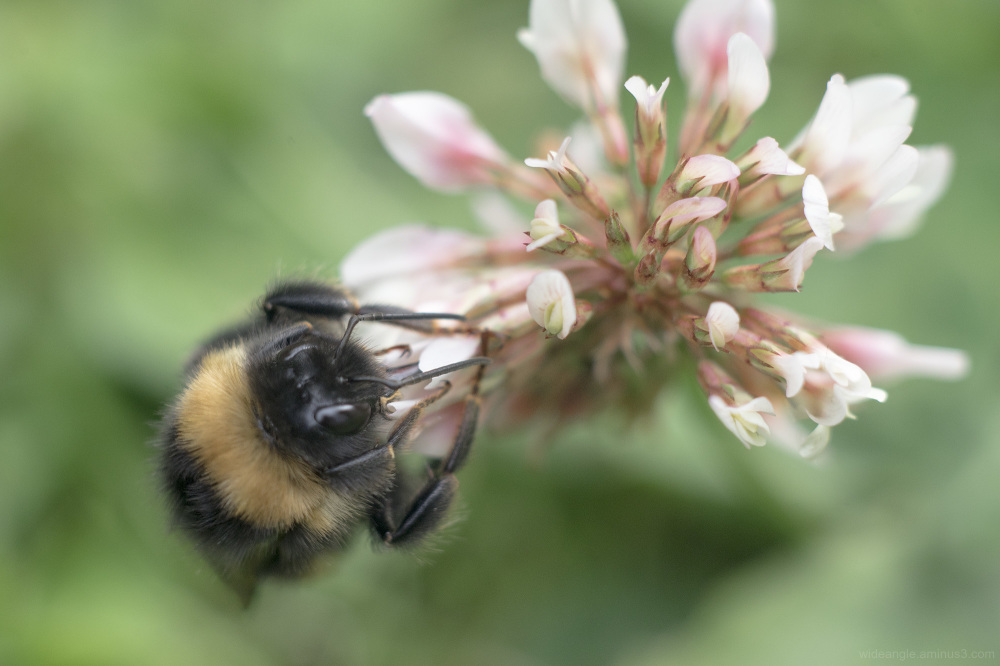 bee bumble flower nectar