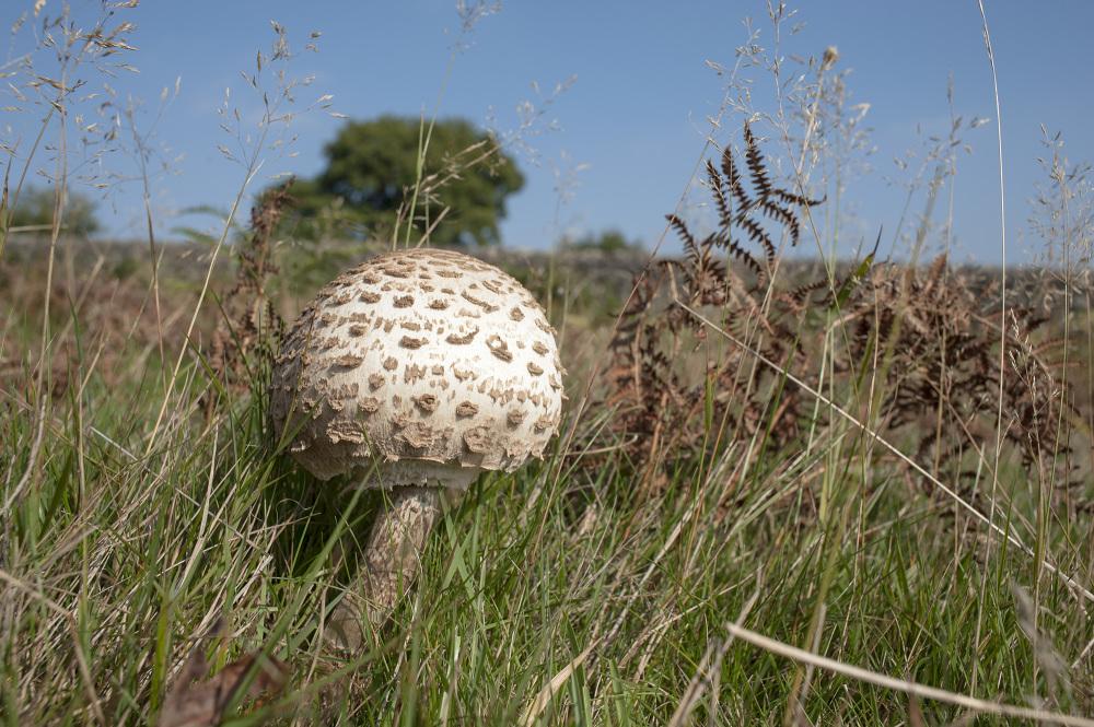parasol mushroom bradgate park leicestershire